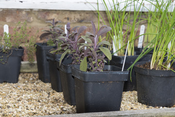 Purple sage plants in black plastic pots ready for planting in the garden.