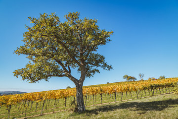 Majestic tree in front of vineyard