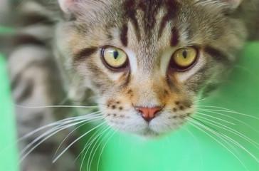 Maine Coon kitten close up.