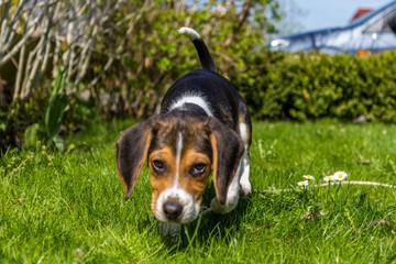 kleiner Beagle