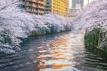 Tuinposter Bos rivier Meguro River is famous cherry blossom spots.People come to the Meguro River to see the beautiful cherry blossom.