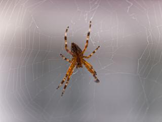 Spinne repariert ihr Netz