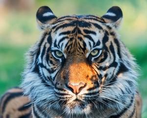 Close up of a tiger's head