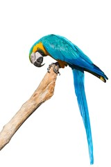 A blue and yellow macaw on a branch isolated on white background