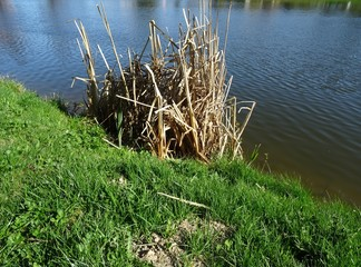 Dry reed stalks in the water. The shore is covered with green lawn