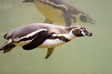 Spheniscus humboldti - Pinguino di Humboldt