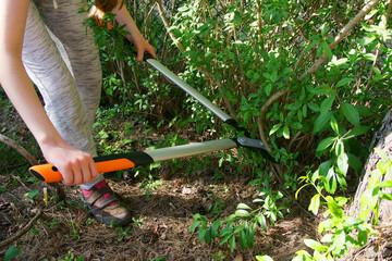 Fototapeta Cut with bypass lopper old shoots of shrubs / Ligustrum / obraz
