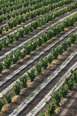 Hazelnut orchard in spring