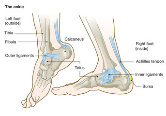 the ankle, anatomy, medical illustration with caption