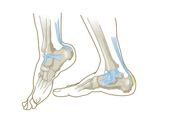 The ankle, anatomy, medical illustration