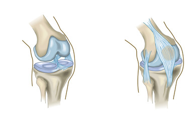 The knee joint, anatomy, medical illustration