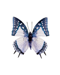 Taxidermy - Blue and white swallowtail butterfly, negative and isolated on white