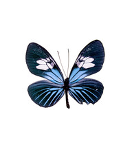 Taxidermy - Blue fritillary butterfly, negative and isolated on white