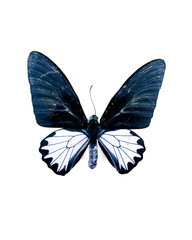 Taxidermy - Blue butterfly, negative and isolated on white