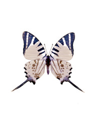 Taxidermy - Blue swallowtail butterfly, negative and isolated on white