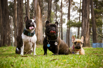 three french bulldog dogs sitting on the grass and trees background