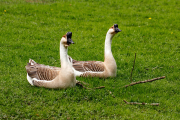 Paar chinese gooses