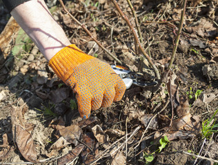 Hand pruning the rose shrub