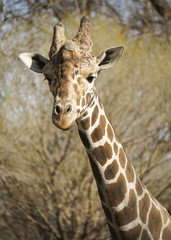 Head of a giraffe in early spring