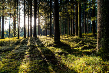 forest, morning