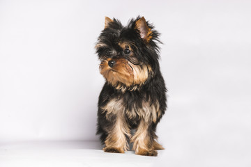 the face of a yorkshire puppy looking to the left on a white background