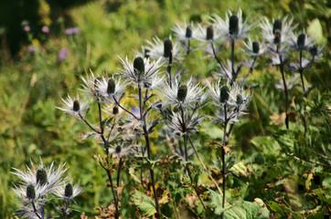 """Eryngium alpinum, """"Queen-of-the-Alps"""", perennial herb in the family Apiaceae"""
