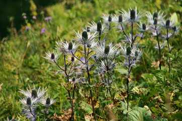 "Eryngium alpinum, ""Queen-of-the-Alps"", perennial herb in the family Apiaceae"