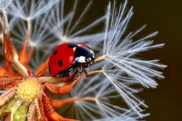Fotobehang Macrofotografie Dandelion seeds close up and ladybug