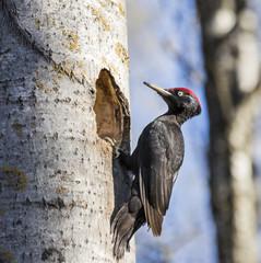 Black Woodpecker next to hole in aspen