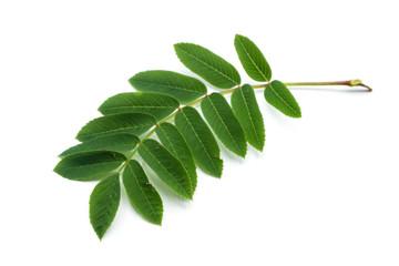 vogelbeerbaumblatt blatt grün blätter isoliert freigestellt auf weißen Hintergrund, Freisteller