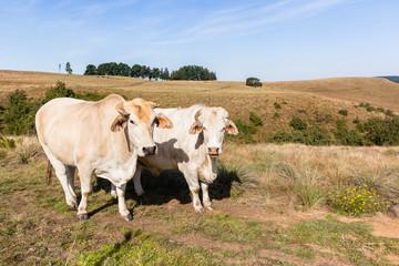 Farming Animals Cattle Closeup Countryside Landscape