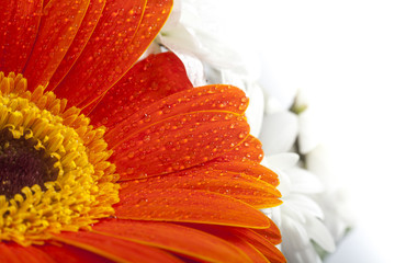 Orange gerbera closeup on flower petals with water drops. Orange flower petals on macro and white background.