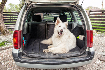 Big white Swiss Shepherd in the car. Carrying dog in the car. Travel with a dog.