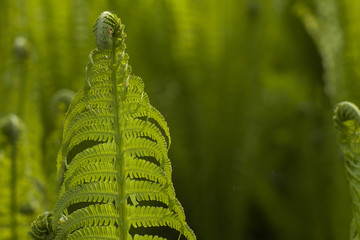Growing green ferns on natural blured green background. Polypody in a natural environment. Forest plants and sunlit leaves.