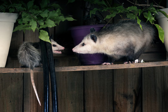 Two opossum young and adult find out the relationship.  Night scene, backyard. Texas, United States