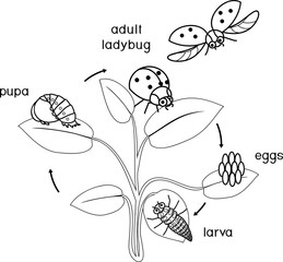 Life cycle of ladybug coloring page. Sequence of stages of development of ladybug from egg to adult insect