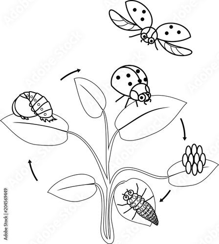 Life Cycle Of Ladybug Coloring Page Sequence Stages Development From Egg