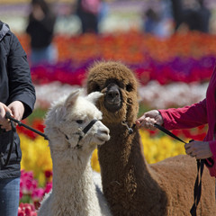 Partial view of two llamas and their handlers in the tulip field at the Tulip Festival