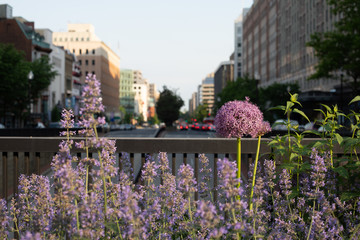Purple flowers with street and buildings