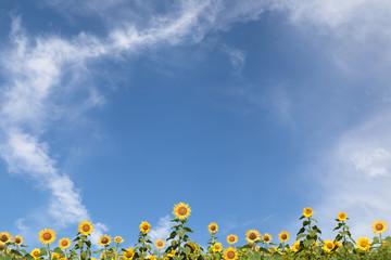ひまわり畑と青空 背景素材