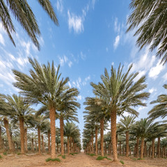 Plantation of date palms - tropical agriculture in the Middle East