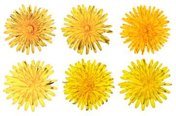 set of six dandelions isolated on white background