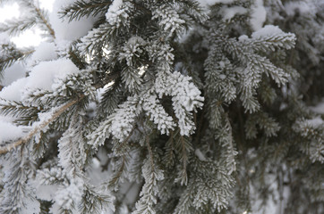 Snow-cowered fir branches. Winter blur background. Frost tree