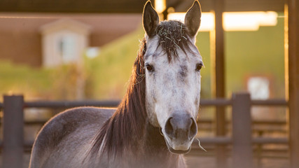 Gray Horse in Corral at Sunset