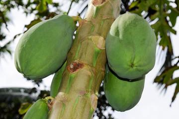 Papaya Fruit Growing on the Tree in Seychelles