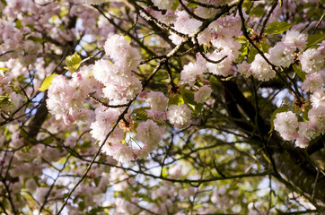 Scandinavian beautiful blooming cherry trees spring 2018