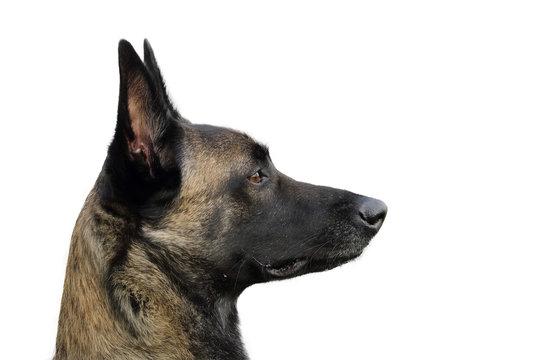 portrait d'un chien berger belge malinois attentif aux ordres au regard vif et joyeux