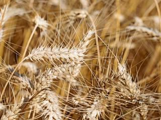 Roggen, Secale cereale, Getreide