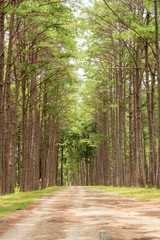 pine garden or pine forest at Chiang Mai Province in Thailand.
