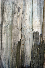 Old gray cracked poplar tree trunk long lines texture, close up detail, vertical surface background